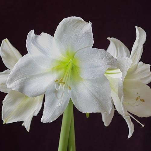 White Amaryllis Bulb