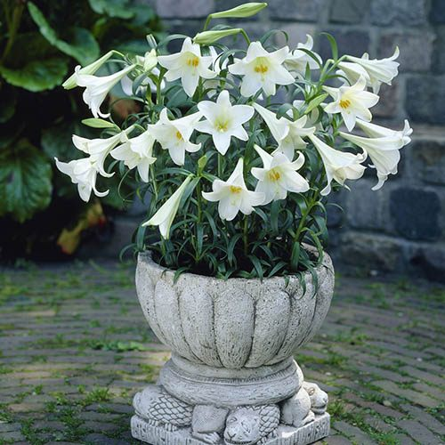 Longiflorum Lily White Heaven