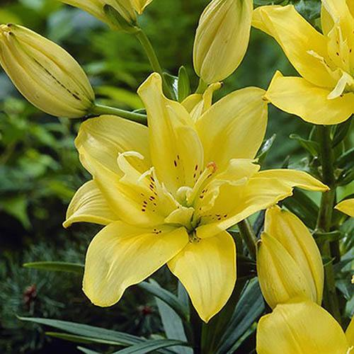 Fata Morgana Double-Flowered Asiatic Lily