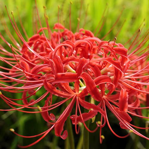 Lycoris radiata (Red Spider Lily) - pack of 5 bulbs