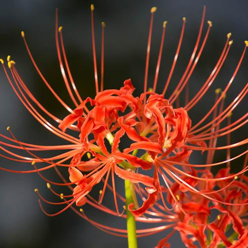 Lycorisradiata Red Spider Lily