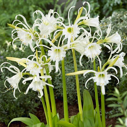 Ismene (White Spider Lily) - pack of 10 bulbs size 14/16