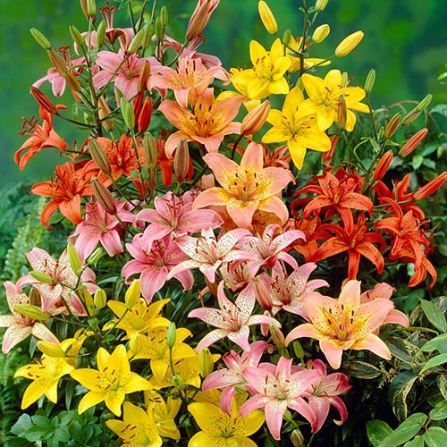 Mixed Longiflorum Asiatic LA Hybrid Lilies