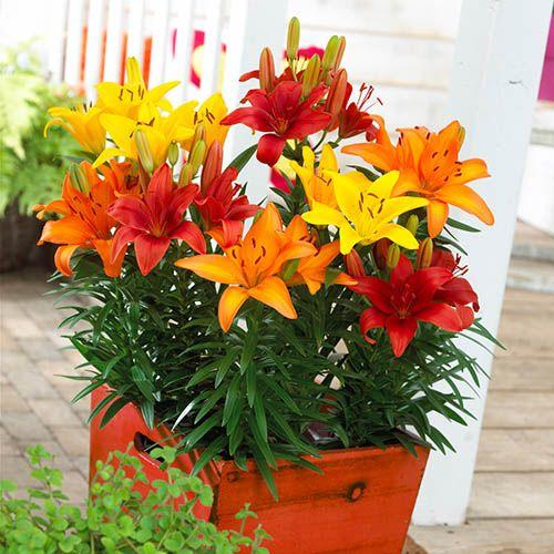 Mixed Longiflorum Asiatic LA Hybrid Lilies