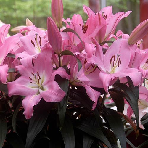Fragrant Hybrid Lily Albufeira