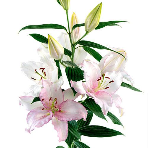 Colour changing Oriental Lily Cameleon