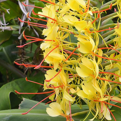 Hedychium (Hardy Ginger Lily) - pack x 3