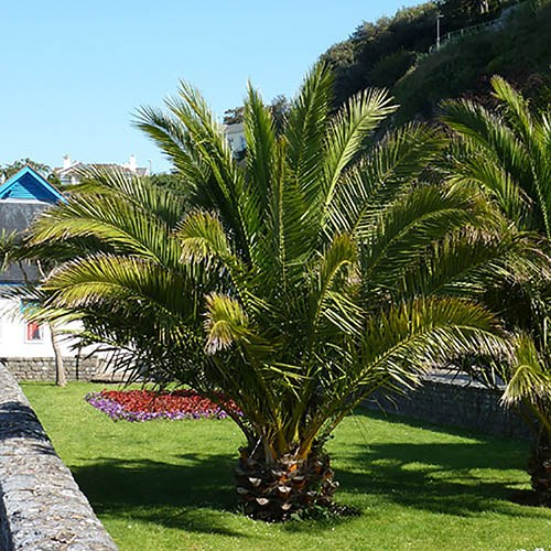 Pair Of Phoenix Canariensis~