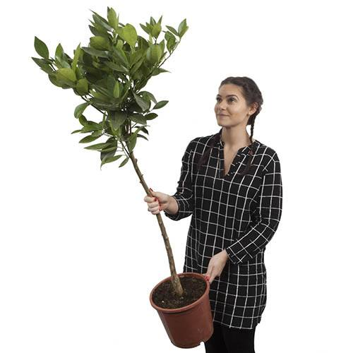 Large EurekaLemon Tree