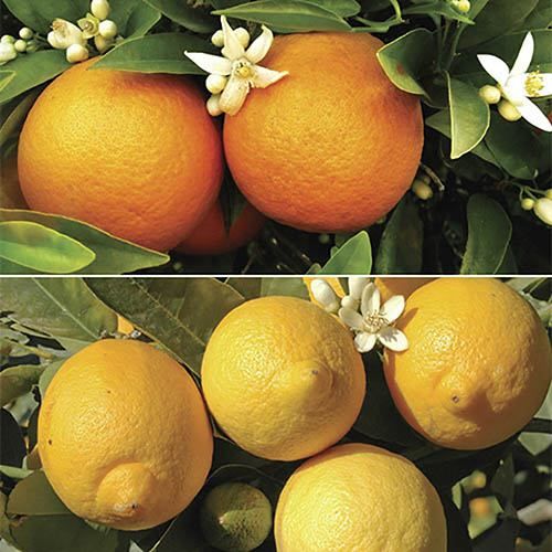 Pair of Large Citrus Trees with FREE Citrus Feed