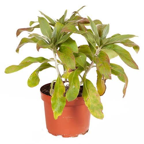 Pride of Madeira Echium candicans