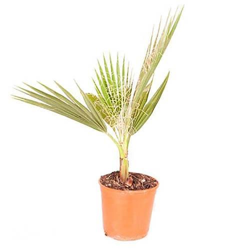 Cotton Palm Washingtonia