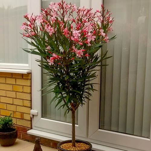 Premium Oleander Standard 90-100cm