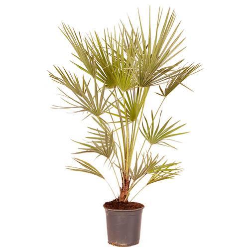 Hardy Fan Palm  Chamaerops Humilis