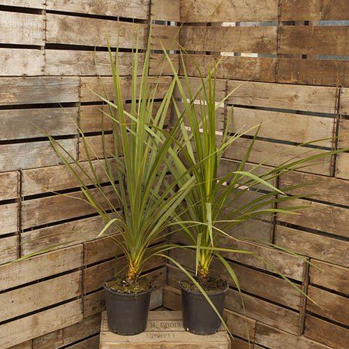 Pair of Cordyline australis 1M tall plants
