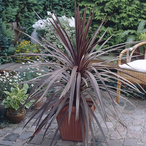 Cordyline Red Rumba