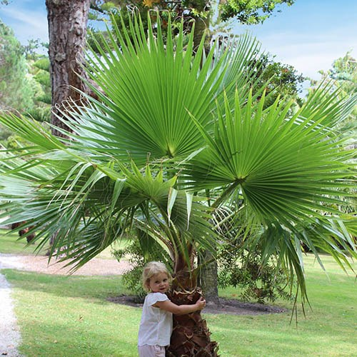 Pair of Washingtonia robusta Hardy Cotton Palms