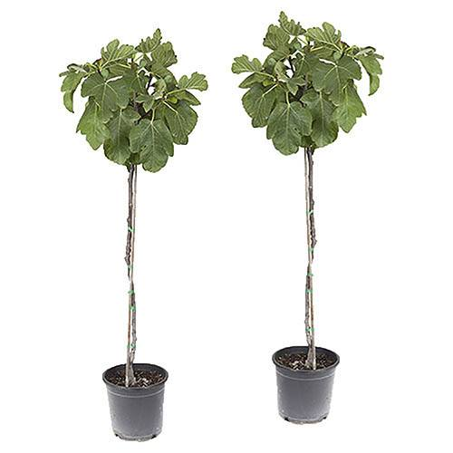 Pair of Hardy Standard Figs