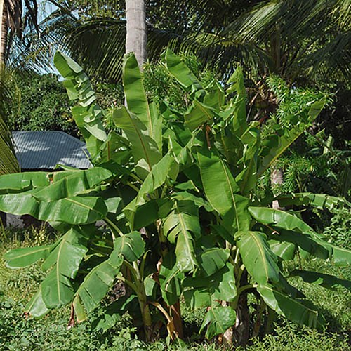 Hardy Japanese Banana Musa basjoo