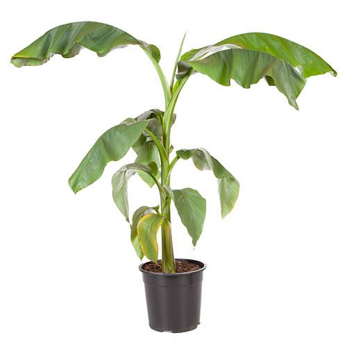 Musa basjoo - Japanese Banana