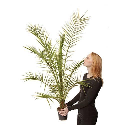 Phoenix canariensis Canary Island Date Palm