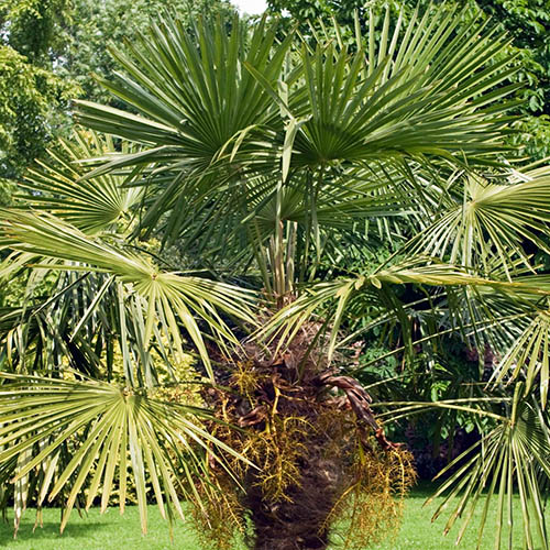 Trachycarpus fortunei Hardy Palm Tree 1.2-1.4M