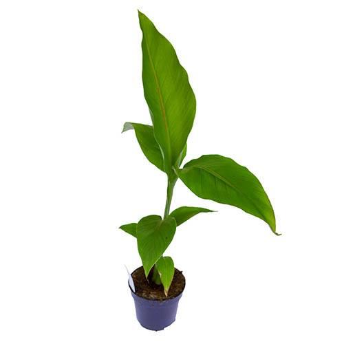 Musa basjoo - Hardy banana