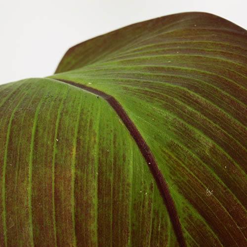 Ensete ventricosum Maurelii - Red Abysinnian Banana