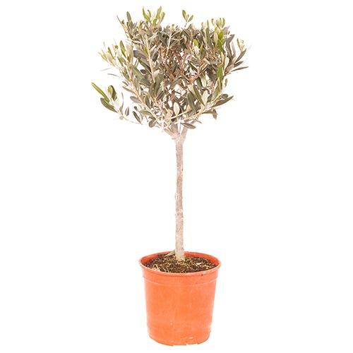 Olive Tree Standard