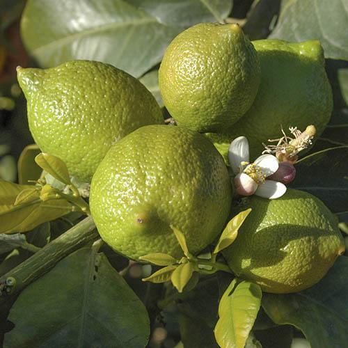 Large Lime Tree