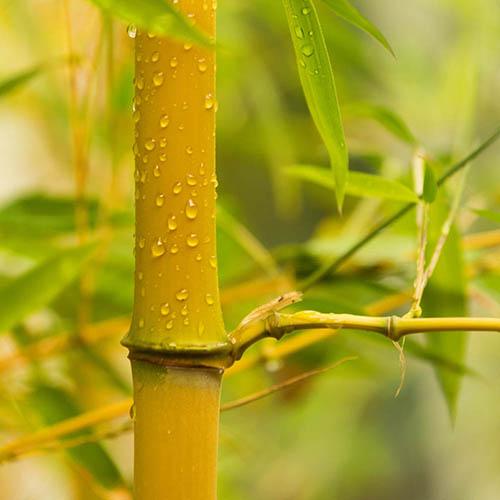 Yellow Bamboo Phyllostachys aureosulcata Spectabilis
