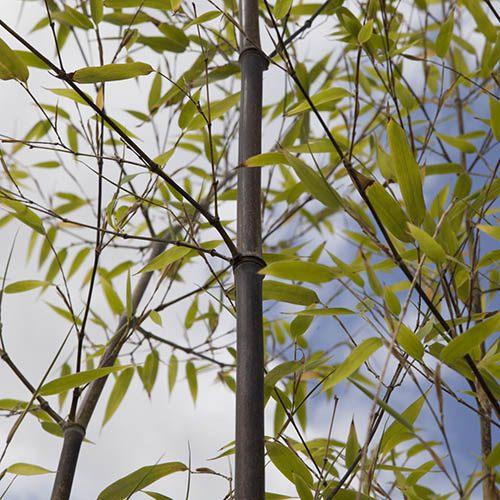 Black Bamboo Phyllostachys nigra