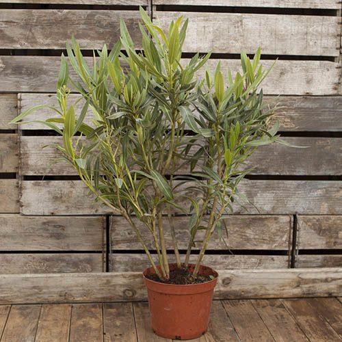 Oleander Tricolour - 3 colours in one pot