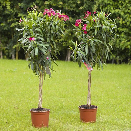 Premium Plaited Stem Oleander Standards 1.2M tall