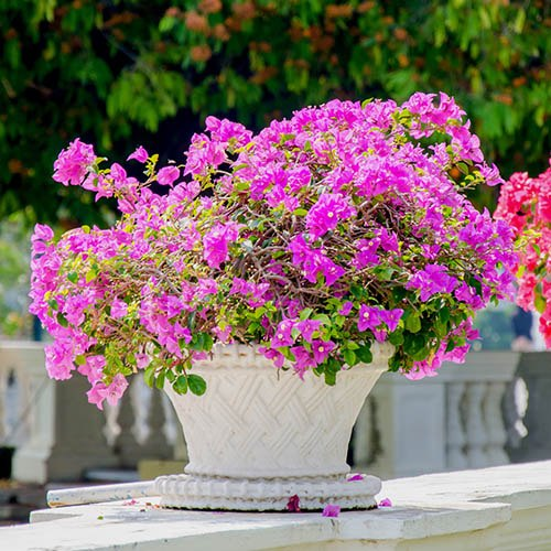 Pair of Pink Bougainvillea Bushes