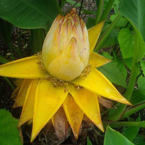 Musella lasiocarpa - Hardy Golden Lotus banana