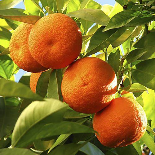 Pair of Large Orange Trees