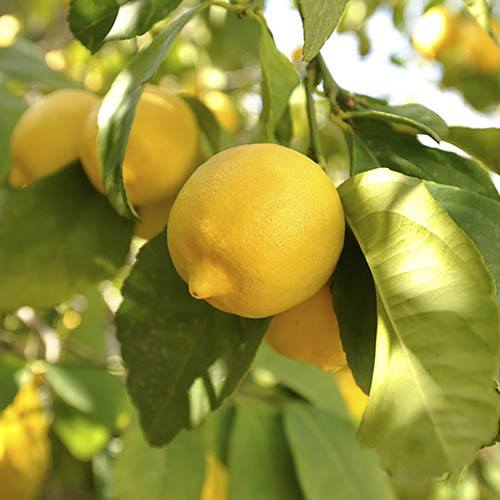 Pair of Large Lemon Trees