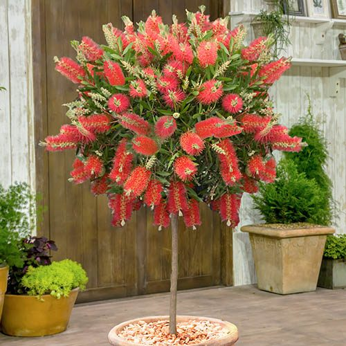 Callistemon Bottlebrush Standard