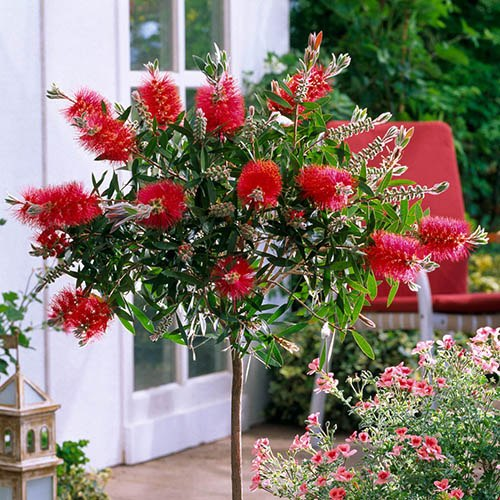 Callistemon Kings Park Standard