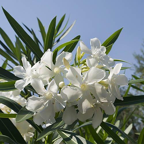 Premium white oleander standard 80 100cm mightylinksfo