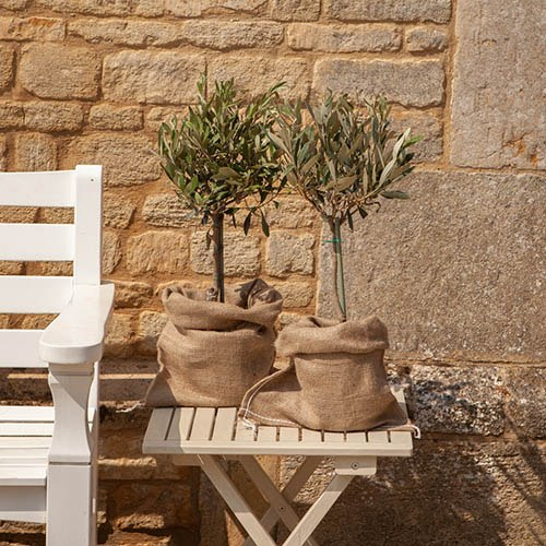 Mini standard olive trees for Olive trees in pots winter care