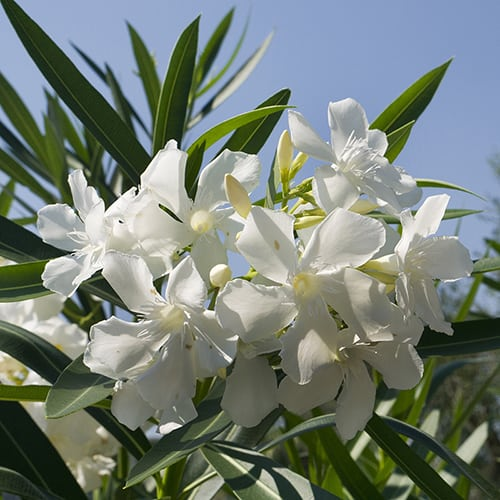 White Oleander Patio Standard 65cm
