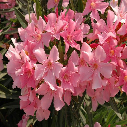 Pair of Pink Oleander Patio Half Standards 60-70cm Tall