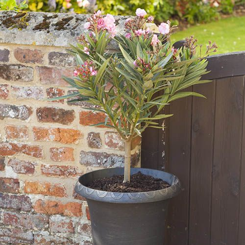 Pair of Red Oleander Half Standards 65cm Tall