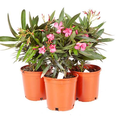 Set of 3 Pink Oleander Bushes in 17cm Pots