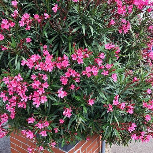 Set of 3 Pink Oleander Bushesin 17cm Pots