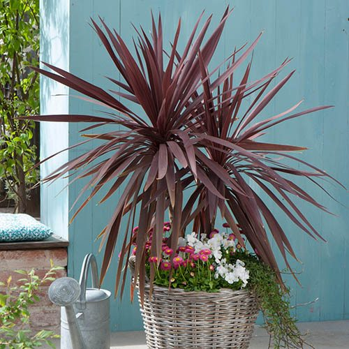 Pack of 3 Cordyline australis Red Star in 7cm Pots