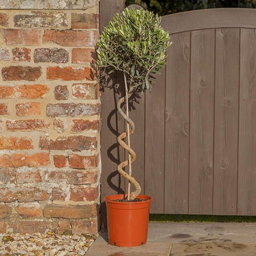 Twisted corkscrew stem standard olive tree for Olive trees in pots winter care