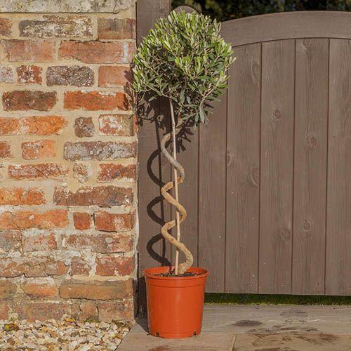 Twisted Corkscrew Stem StandardOlive Tree